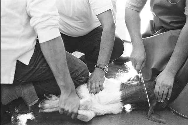 Bolehkah Pria Yang Bertindik Menyembelih Hewan?